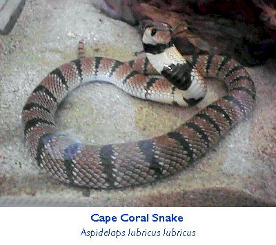 capeoralsnake.jpg